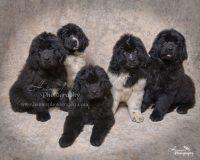 puppies brown background.JPG