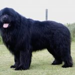 The Benefits of Owning a Giant Newfoundland