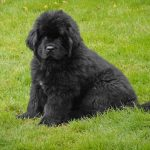The Black Newfoundland : Big at Heart