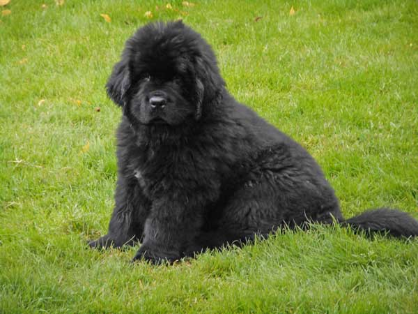 the black newfoundland   big at heart